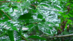 Raindrops falling on green leaves stock video footage