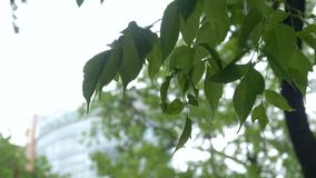 Raindrops falling from tree branch and green leaves after rain. Nature in overcast weather. Raindrops falling from tree branch and green leaves after rain on stock footage