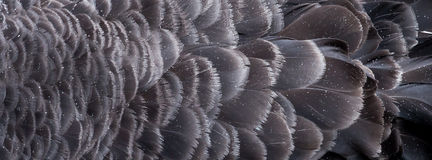 Raindrops on the Feathers of the Australian Black Swan Royalty Free Stock Image