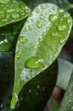 Raindrops on ficus benjamin leaves Royalty Free Stock Images