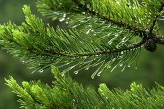 Raindrops on the fir needles Stock Image