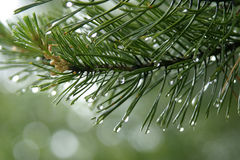 Raindrops on the fir needles Stock Images