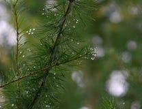 Raindrops on the fir needles Stock Photo