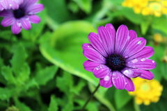 Raindrops on flowers. Raindrops on purple daisies against green leaf backdrop Stock Photography