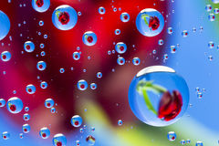 Raindrops & Flowers Tulip Stock Images