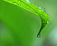 Raindrops. Fresh raindrops on a green leaf plant Royalty Free Stock Photography