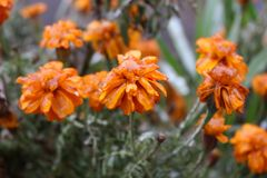 Raindrops froze on the flowers. The water is frozen on the petals after the rain royalty free stock photo