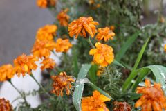Raindrops froze on the flowers. The water is frozen on the petals after the rain stock images