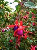 Raindrops on Fuchsia Royalty Free Stock Photo