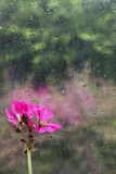 Raindrops and Geranium Stock Image