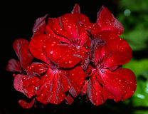 Raindrops on a geranium at night. Shallow focus royalty free stock photography