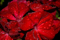 Raindrops on a geranium at night. Shallow focus stock photos
