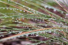 Raindrops glisten on grass after storm. Raindrops glisten on Muhley grass blades after a storm stock photography