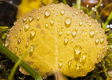 Raindrops on a Golden Aspen Leaf. Closeup view of a yellow aspen leaf covered in raindrops Stock Image