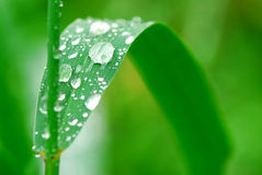 Raindrops on grass. Big water drops on a green grass blade, macro Stock Photos