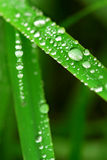 Raindrops on grass. Big water drops on green grass blades, macro Stock Photos