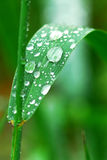 Raindrops on grass. Big water drops on a green grass blade Stock Images