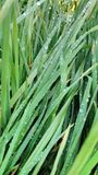 Raindrops. On grass Royalty Free Stock Photography