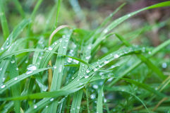 Raindrops on grass  in the morning Royalty Free Stock Images