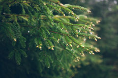 Raindrops on green fir-tree Branch. Fir-tree needles and water drops. Horizontal close-up of morning dew on fir tree branches with forest in the background Stock Images