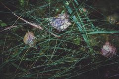 Raindrops on the green grass in the forest in autumn. Dew on autumn grass. Close up. Raindrops in the forest royalty free stock photography