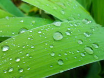 Raindrops on green grass. Leaves close-up macro Royalty Free Stock Image