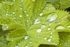 Raindrops on a green leaf Royalty Free Stock Photography