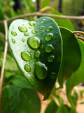 Raindrops on green leaf Stock Images