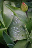 Raindrops on a green leaf with black background. Royalty Free Stock Images