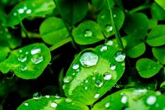 Raindrops on a green leaf close-up. Drops of water on a green plant macro. Stock Photo