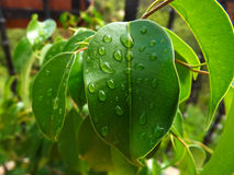 Raindrops on green leafs Stock Image