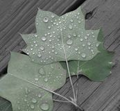Raindrops. On green leafs after rainy day Stock Images