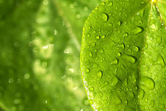 Raindrops on green leaves Royalty Free Stock Photography