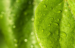 Raindrops on green leaves Royalty Free Stock Images