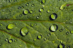 Raindrops on green leaves Royalty Free Stock Photo