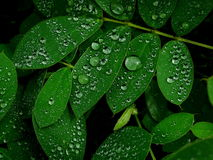 Raindrops on green leaves Stock Photos