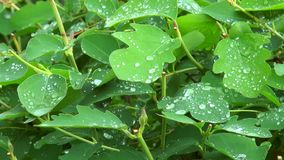Raindrops on green leaves bush. The camera motion stock footage