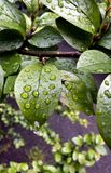 Raindrops on green leaves. On blurred nature background Stock Image