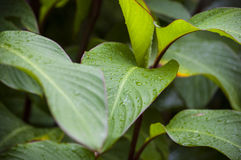 Raindrops on green leaves of trees under a tropical downpour Stock Photography