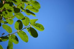 Raindrops on green leaves and twigs of a bush Stock Photo