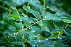 Raindrops on green leaves and twigs of a bush Stock Photography