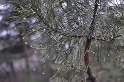 Raindrops on green pine needles. Raindrops like diamonds on long pine needles Royalty Free Stock Images