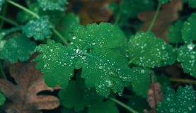 Raindrops on a green plant leaves. Close up Royalty Free Stock Photos