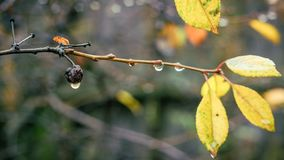 Raindrops hanging on the bushes cherries. Macro photo of raindrops on a sprig of cherry. The foliage has already flown around, winter is coming royalty free stock photography