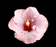 Raindrops On Hibiscus Royalty Free Stock Image