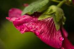 Raindrops on a hollyhock flower - partially blurred frame. Rain drops on a pink hollyhock flower, green background and closeup Royalty Free Stock Photography