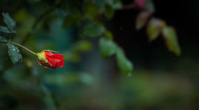 Raindrops on individual blooming red rose - Dark green backdrop Stock Images