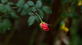 Raindrops on individual blooming red rose - Dark green backdrop Stock Photos