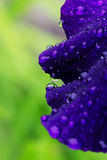 Raindrops on an iris petal. Royalty Free Stock Image