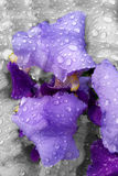Raindrops on iris. Silver rain over purple iris Stock Images